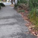 Tree dripping sap-sticky sidewalks