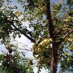 Declining honeylocust tree i Scotts Valley